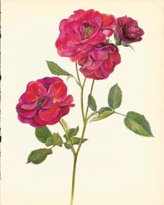 Use coupon code PINTEREST to save 10% off of your purchase! Gorgeous ANTIQUE ROSE ILLUSTRATION Pink Rose by UpcycleFarmer