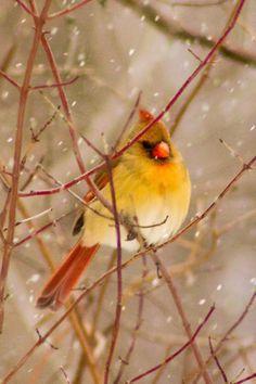 Beautiful Female Cardinal...Darren Johnson