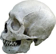 Skull Shoppe.com - Decorate your home or haunt today!  The Skull Shoppe is fast becoming the best place for quality human skull replicas.    Our clients range from Home Haunters, Doctors, Collectors, Artists to the Film and Theater Industry. We have a skull to meet your budget and needs. If you are looking for a unique novelty skull or ultra-realistic, we have you covered.    Please take a moment to browse our collection of skeleton and skull casts. Our museum models are cast from real…