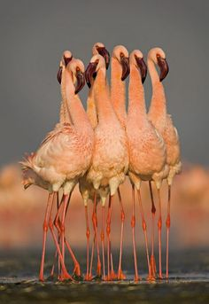 "Flock of eight Flamingos wading in water, Lake Nakuru, Kenya"" by Panoramic Images"