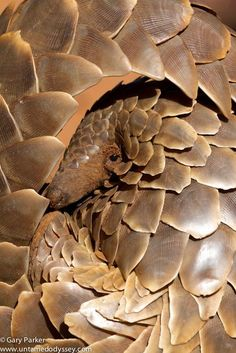"""Pangolin"" - Pangolin found in the Southern Kalahari in an open area, Perfect!!!"