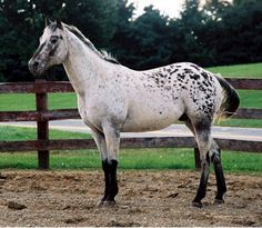 •Peppered Appaloosa•