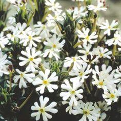 Suttons Night Phlox Seeds: Image 3