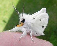 Cute moths | ... the Virginia Tiger Moths, very attractive mostly-white, fuzzy moths