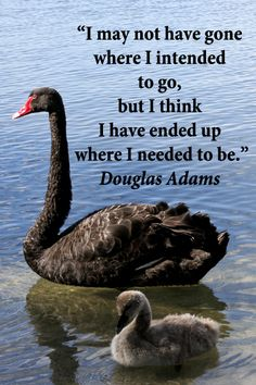 """""""I may not have gone where I intended to go, but I think I have ended up where I needed to be."""" -- Douglas Adams – On image of amazing, black swans, parent and cygnet, in memorable Australia taken by Florence McGinn -- Explore quotes on the grace and power of life's journey at http://www.examiner.com/article/travel-a-road-of-literate-quotes-about-the-journey"""
