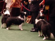 Westminster Dog Show Border Collie My journey