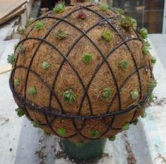 This is a project that enthralls and intrigues everyone who sees it; you can build one too; just pick up a couple of coir lined hanging baskets, fill with soil, wire them together and stick some Sempervivum chicks on the coir.  After a year, they will fill in and be totally covered.  What a great use for your succulent collection!