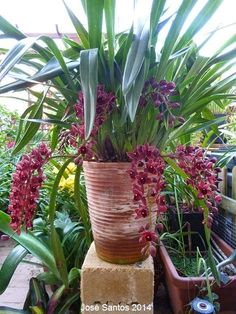 Cymbidium Dorothy Stockstill Forgotten Fruits 6N | Greenman: Cymbidium Dorothy Stockstill 'Forgotten Fruit'