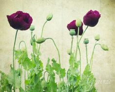 Poppy flower photograph - nature photography botanical art flower floral nursery decor sage mint plum beige antique 8x10 - Deep Purple