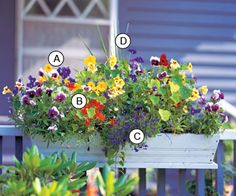 Don't be afraid to replace pansy(cool-season plant) with a heat-loving plant such as blue angelonia to keep the drama going into summer... A. Pansy (Viola 'Delta Beaconsfield') ,   B. Nasturtium (Tropaeolum 'Fordhook Favorites') ,   C. Lobelia 'Riviera Midnight Blue' ,   , D. Dracaena marginata
