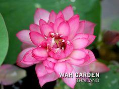 Fen Jing Ling lotus 2 | by Klong15 Waterlily Jing Ling, Nelumbo Nucifera, Water Lilies, Lotus, Rose, Flowers, Plants, Lotus Flower, Pink