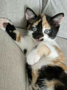Calico kitten Cute Baby Cats, Cute Cat Gif, Cute Little Animals, Cute Cats And Kittens, Cute Funny Animals, Adorable Kittens, Funny Cats, Kittens Cutest Baby, Lps Cats