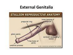 stallion genitalia