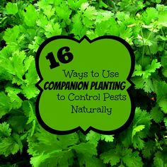 Companion Gardening 16 ways to use companion planting to control pests naturally (via The Free Range Life) - Organic pest control for your garden! Great ideas on how to use companion planting to get rid of pests naturally in the garden!