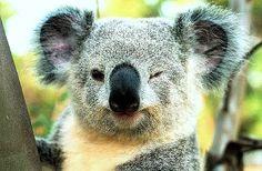 koalas - Buscar con Google