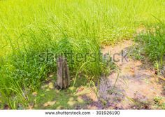 Young rice field in Thailand, can be used as nature background - stock photo