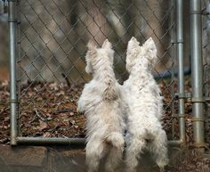 My West Highland White Terriers, Trevor and Katie. How I adore these dogs.