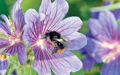 Bee friendly flowers: Geranium pratense (Meadow Cranesbill)
