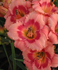 Cottage Farms Direct Live Strawberry Candy Daylily Bareroot - Set of Three Sun Plants, Garden Plants, Reblooming Daylilies, Daylily Garden, Flower Perfume, Hardy Perennials, Pink Petals, Pink Blossom, Day Lilies