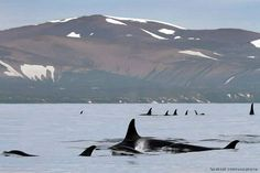 """Frans de Waal - Public Page  ORCAMEETING  Russian Orcas writes: """"Why do orcas sometimes gather in large aggregations? For the same reasons as we humans do - to meet each other, to socialize, to experience an occasional affair... They get especially excited when they meet groups coming from far away."""""""