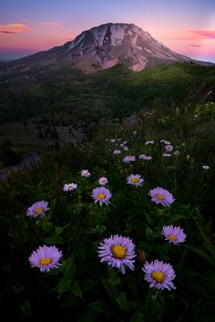 https://flic.kr/p/WrNcNs   MT St Helens And Purple Asters Under Twilight   Images from Mt St Helens in WashingtI recently got to visit a side of Mt St Helens that very few people see other than a few hunters or locals. Thanks to Kevin Russell for showing myself a few other photographers this stunning place. Even though the flowers were not as abundant and took more time to find them the views were stunning. If you look closely the crater of Mt St Helens is on the other side. This unique…