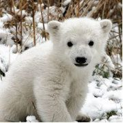 To celebrate International Polar Bear Day, Dutch conservationists have christened one adorable cub to be the species' next rising star. Baby Polar Bears, Cute Polar Bear, Baby Pandas, Panda Bears, Cute Baby Animals, Funny Animals, Wild Animals, Animal Babies, Polaroid