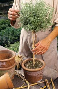 I think next year I'm going to try and grow a rosemary tree