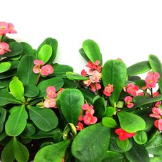 Crown of Thorns (Euphoria Milii) - Blooms all the time - indoor plant