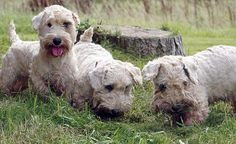 They look so cute it is almost impossible to believe these dogs have had their day. But the Sealyham terrier, once beloved of Hollywood stars and royalty, is now 'rarer than a tiger' and on the verge of extinction. http://www.dailymail.co.uk/news/article-2053500/Sealyham-terrier-English-dog-thats-rare-tiger.html#ixzz24hBdglMN