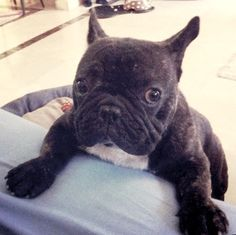 """I prefers the sofa..""... ""so help me up"", French Bulldog Puppy"