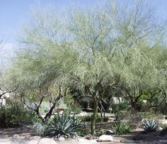 LOVE these palo verde trees Tucson Sunset, Drought Tolerant Trees, Xeriscape Plants, Trees And Shrubs, Water Garden, Northern California, Curb Appeal, Desert Gardening, Exotic