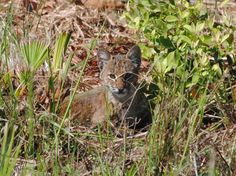 Bobcat kitten at Myakka River State Park.