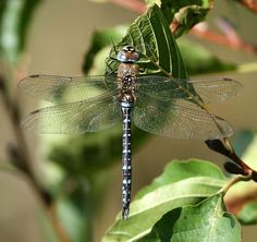 Europe's 10 Most Swift and Vibrant Dragonflies ~ Migrant Hawker