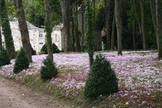 Chateau de Civray, just down the road from Chenonceau, and its wild Cyclamen