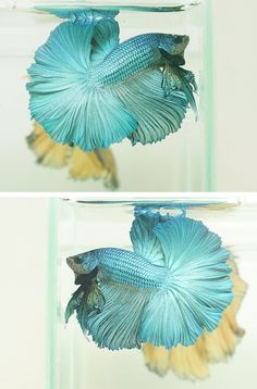 I just love Japanese fighter fish, I don't think they should be called fighter fish because they're so gentle by themselves or with different species of fish, they're only aggressive when they're both males fighting for they're territories and/or a female!