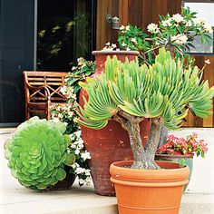 Fan aloe, a tree succulent, makes an elegant, low-maintenance container plant. Tom's foliage choices display an Asian ambience and provide soothing combinations.