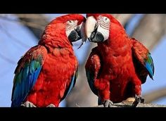 Australia is a common place to find parrots in the wild. Here is a cool documentary about parrots and their majestic essence, from PBS Nature Series.