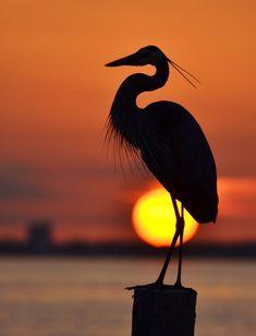 Heron and the Setting Sun
