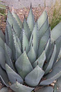 Hardy Century Plant for sale buy Agave havardiana