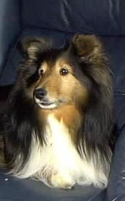Ziggy, our first male sheltie, born in 1994. He was perfection, sweet, loving, playful, loyal. He was everything you could possibly want in a dog, or a friend!!!