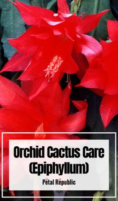The orchid cactus is prized for its brightly colored blooms that burst into a magical array come spring. What's more, their segmented, serrated stems make a dramatic impression in hanging pots. Here we'll take you through everything you need to know about Orchid Cactus Care at home including how to plant; the best soil mix; light, temperature, and humidity considerations; how to water and fertilize; when and how to prune and propagate. Indoor Ferns, Outdoor Plants, Orchid Cactus, Cactus Plants, House Plant Care, House Plants, House Plant Delivery, Cactus Care, Fiddle Leaf Fig Tree