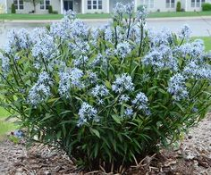 An exceptional breakthrough in native plant breeding, this new variety of Bluestar is a knockout! Foliage emerges almost black in spring, aging to dark green with silver veins. It then begins the real show with numerous clusters of starry blue flowers and continue to bloom for weeks. Afterwards, it maintains a great presence in any garden and has great heat and humidity tolerance. It stands up to deer as well! Plant Name: Amsonia tabernaemontana 'Storm Cloud' Growing Conditions: full sun to…