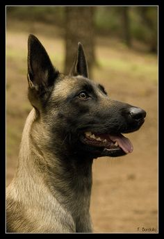 Berger Malinois, Belgian Malinois Dog, Malinois Puppies, Belgian Shepherd, German Shepherd Dogs, Belgium Malinois, Scary Dogs, Military Working Dogs, Herding Dogs