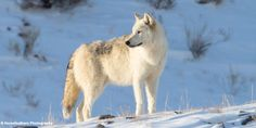 petition: Help Stop the Relentless Wolf Killing in Idaho