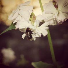 Flower & Bee. Pohjois-Karjala, Finland.