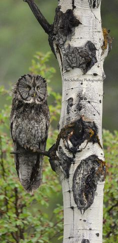 Great Grey Owl in Grand Teton National Park.    by Ben Schelling