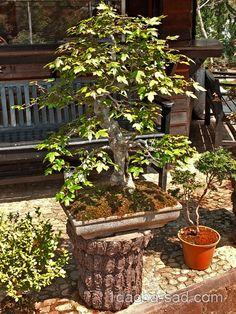 бонсай во дворе фото