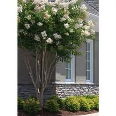 Crape Myrtle Natchez (White) against house. Try dwarf azalea underneath.