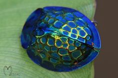No, this isn't a piece of jewelry. It's actually an insect called the imperial tortoise beetle (Stolis imperialis). Dazzling, yes?