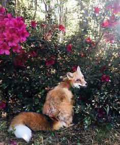 "megarah-moon: "" Meet Juniper, a year old tame red fox who does everything with a smile. Fantastic Fox, Fabulous Fox, Nature Animals, Animals And Pets, Beautiful Creatures, Animals Beautiful, Domestic Fox, Happy Fox, Pet Fox"